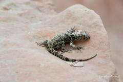 Каспийский голопалый геккон11