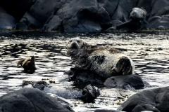 Островной тюлень