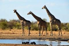 Жирафы-в-Этоша