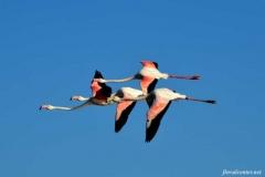 Фламинго-на-Атлантике
