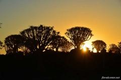 алоевый-лес-на-закате