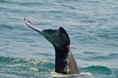 Серый-кит