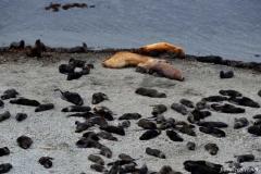 Сивучи-и-котики-на-острове-Расшуа