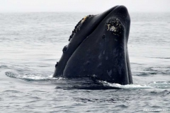 Японский-кит