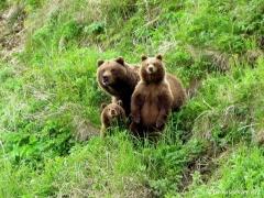 любопытные-медведи