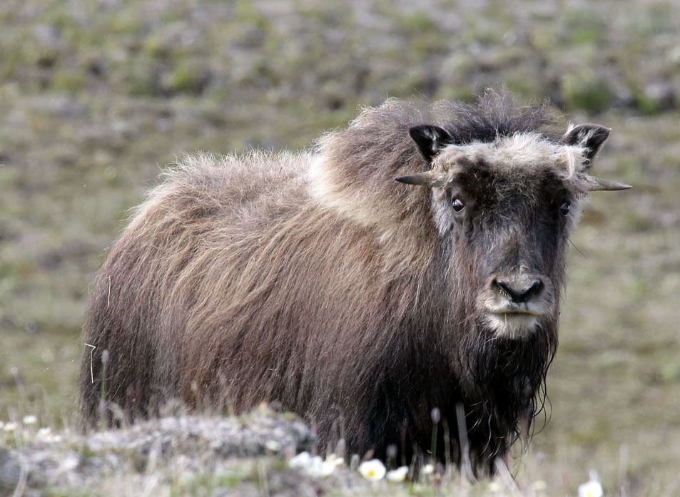 овцебычок 1